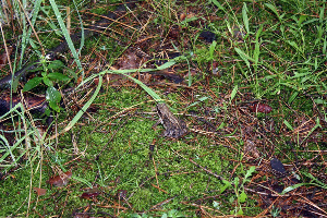Żabka w lesie